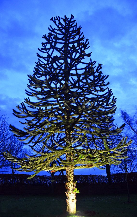 Uplighting a Monkey Puzzle Tree